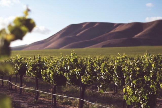 ワイン生産者の畑