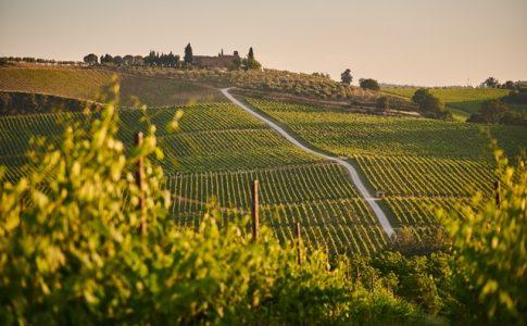 オーガニックワインの畑